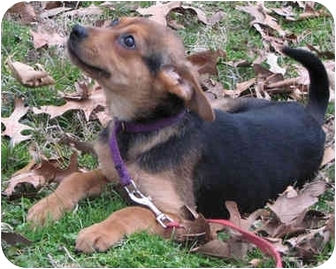 German Shepherd Dog/Hound (Unknown Type) Mix Puppy for adoption in Brattleboro, Vermont - Joan