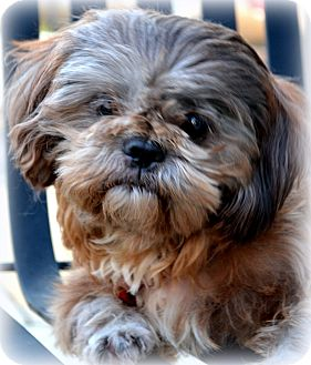 Shih Tzu Mix Dog for adoption in Mays Landing, New Jersey - Charley-VA