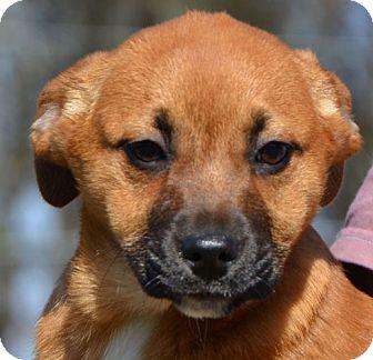 Labrador Retriever Mix Puppy for adoption in Allentown, Pennsylvania - Sage