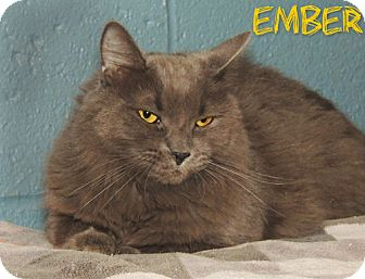 Domestic Longhair Cat for adoption in River Edge, New Jersey - Ember
