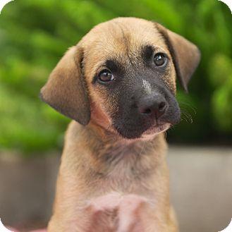 Labrador Retriever/Black Mouth Cur Mix Puppy for adoption in Houston, Texas - Adam