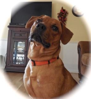 Labrador Retriever/Dachshund Mix Dog for adoption in Alabaster, Alabama - HAPPY JACK