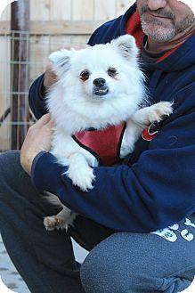 American Eskimo Dog/Pekingese Mix Dog for adoption in Kansas city, Missouri - Myra