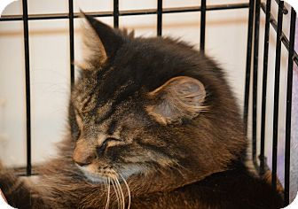 Domestic Mediumhair Cat for adoption in Germantown, Ohio - William
