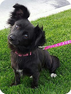 "Papillon/Dachshund Mix Dog for adoption in Seattle, Washington - ""Cinder"""