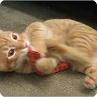 Adopt A Pet :: Tiger - Greenville, SC