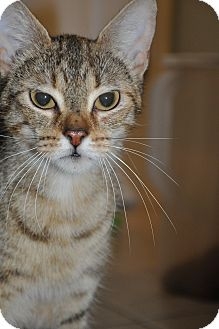 Bengal Cat for adoption in New Smyrna Beach, Florida - Patience ~Bengal Mix~