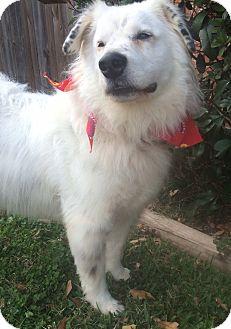 Anatolian Shepherd Mix Dog for adoption in Kingwood, Texas - Marvin