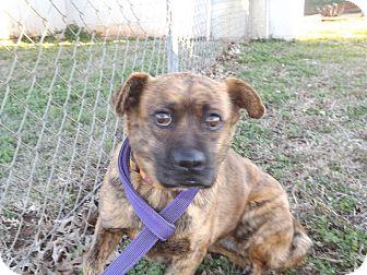 American Staffordshire Terrier/Basenji Mix Dog for adoption in Thomaston, Georgia - Milan