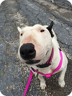 Bull Terrier Dog for adoption in Dallas, Texas - Penelope