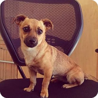 Chihuahua Mix Dog for adoption in Manhattan, New York - Baby Girl