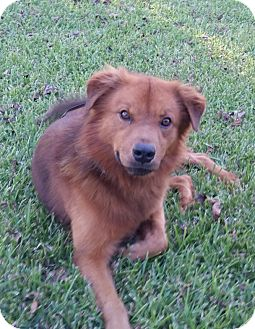 Chow Chow Mix Dog for adoption in Cat Spring, Texas - Riddick