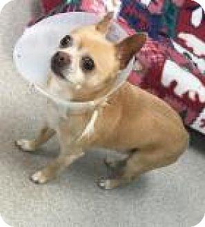 Chihuahua Mix Dog for adoption in Columbus, Georgia - Obie 345e