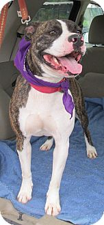 American Pit Bull Terrier Mix Dog for adoption in Eden, North Carolina - Buster