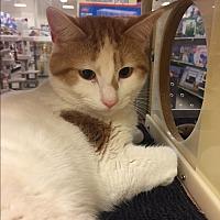 Adopt A Pet :: Calvin - Barrington Hills, IL