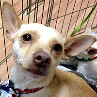 Chihuahua/Italian Greyhound Mix Dog for adoption in Tijeras, New Mexico - Samson