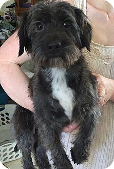 Shih Tzu Mix Dog for adoption in Glastonbury, Connecticut - LuAnne-ADOPTED