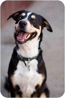 Australian Shepherd/Australian Cattle Dog Mix Dog for adoption in Portland, Oregon - Tilly