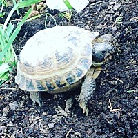 Tortoise for adoption in Spring Branch, Texas - Quincy