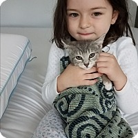 American Shorthair Kitten for adoption in Jersey City, New Jersey - Scamp