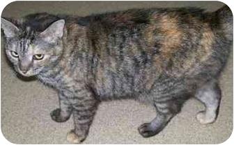 Domestic Shorthair Cat for adoption in Ft. Pierce, Florida - Helen