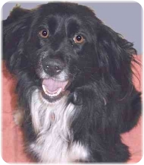 Spaniel (Unknown Type)/Border Collie Mix Dog for adoption in Grass Valley, California - KC