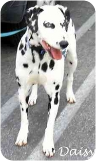 Dalmatian Dog for adoption in Mandeville Canyon, California - Daisy IV