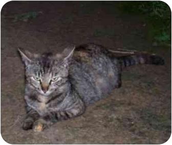 Domestic Mediumhair Cat for adoption in Haughton, Louisiana - Momma Cat