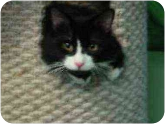 Domestic Longhair Cat for adoption in New York, New York - Cookie