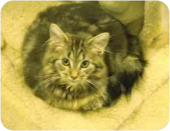 Domestic Mediumhair Cat for adoption in Mission, British Columbia - Little Belle