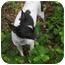 Photo 1 - Chihuahua Dog for adoption in Weeki Wachee, Florida - Tinker