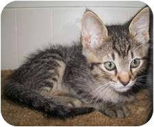 Domestic Shorthair Kitten for adoption in Shelton, Washington - Bubba