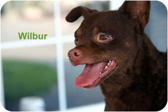 Chihuahua Mix Dog for adoption in Gallatin, Tennessee - Wilbur