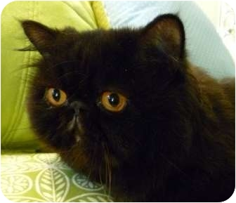 Persian Cat for adoption in Beverly Hills, California - George