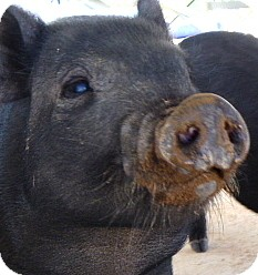 Pig (Potbellied) for adoption in Las Vegas, Nevada - Percy