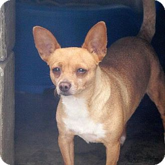 Chihuahua/Chihuahua Mix Dog for adoption in Vancouver, British Columbia - Dryanna