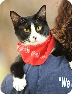 Domestic Shorthair Cat for adoption in Los Angeles, California - Dakota crosseye girl - video!