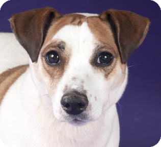 Jack Russell Terrier Dog for adoption in Chicago, Illinois - Berry