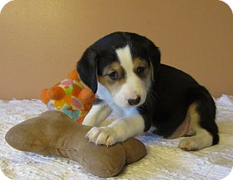 Treeing Walker Coonhound/Border Collie Mix Puppy for adoption in Manchester, Connecticut - Amelia