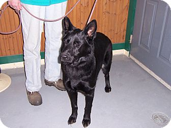 German Shepherd Dog Dog for adoption in Tully, New York - PIPER