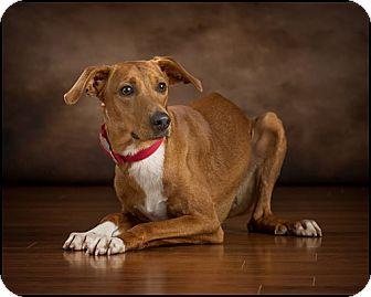 Greyhound Mix Dog for adoption in Owensboro, Kentucky - Brutus