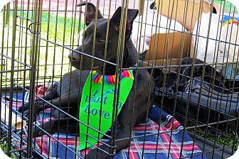 Labrador Retriever Mix Dog for adoption in Midway, Kentucky - Tess