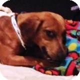 Dachshund Dog for adoption in Houston, Texas - Monique Lamoureaux