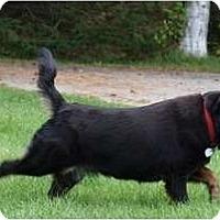 Adopt A Pet :: Chelsea - Toronto/Etobicoke/GTA, ON
