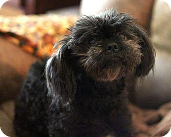 Shih Tzu/Terrier (Unknown Type, Small) Mix Dog for adoption in Sacramento, California - Ozzy