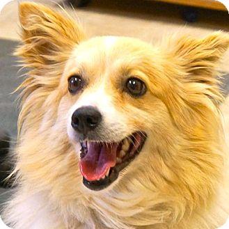 Sheltie, Shetland Sheepdog Mix Dog for adoption in Sprakers, New York - Anna