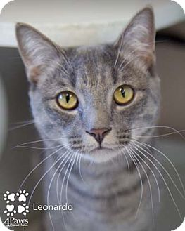 Domestic Shorthair Cat for adoption in Merrifield, Virginia - Leonardo