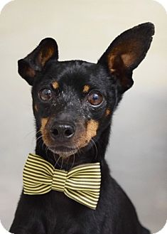 Miniature Pinscher Mix Dog for adoption in Dublin, California - Ace