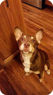 German Shepherd Dog/Beagle Mix Puppy for adoption in Salamanca, New York - Mayla