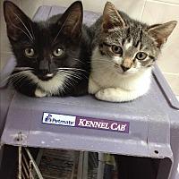 Domestic Shorthair Kitten for adoption in Sunny Isles Beach, Florida - Tyme